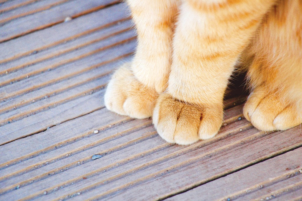 แมวตุรกี