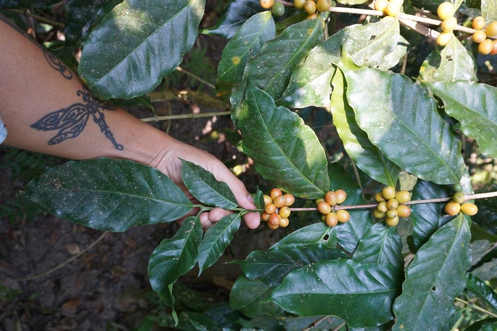 Nomad Coffee Farm
