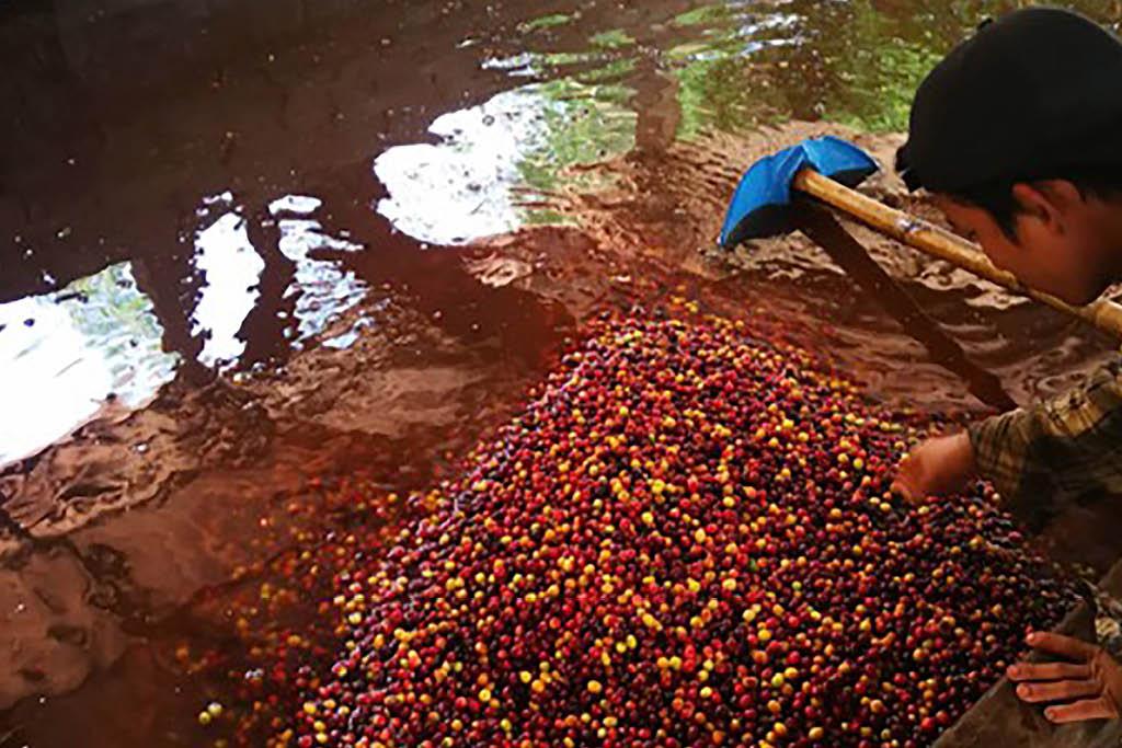 ชาวสวนกาแฟ