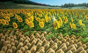 The First Artificial Sunflower-like Material that Follows Sunlight