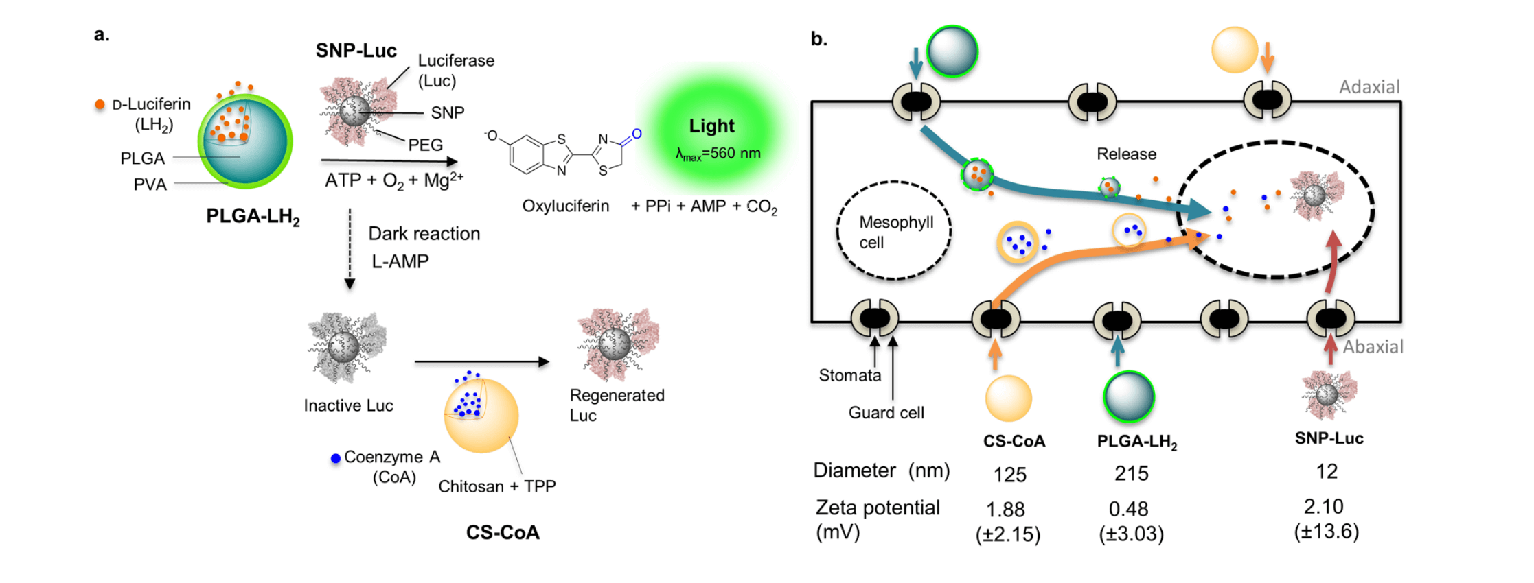 Reaction mechanism of light production by firefly luciferase using  Nanoparticles