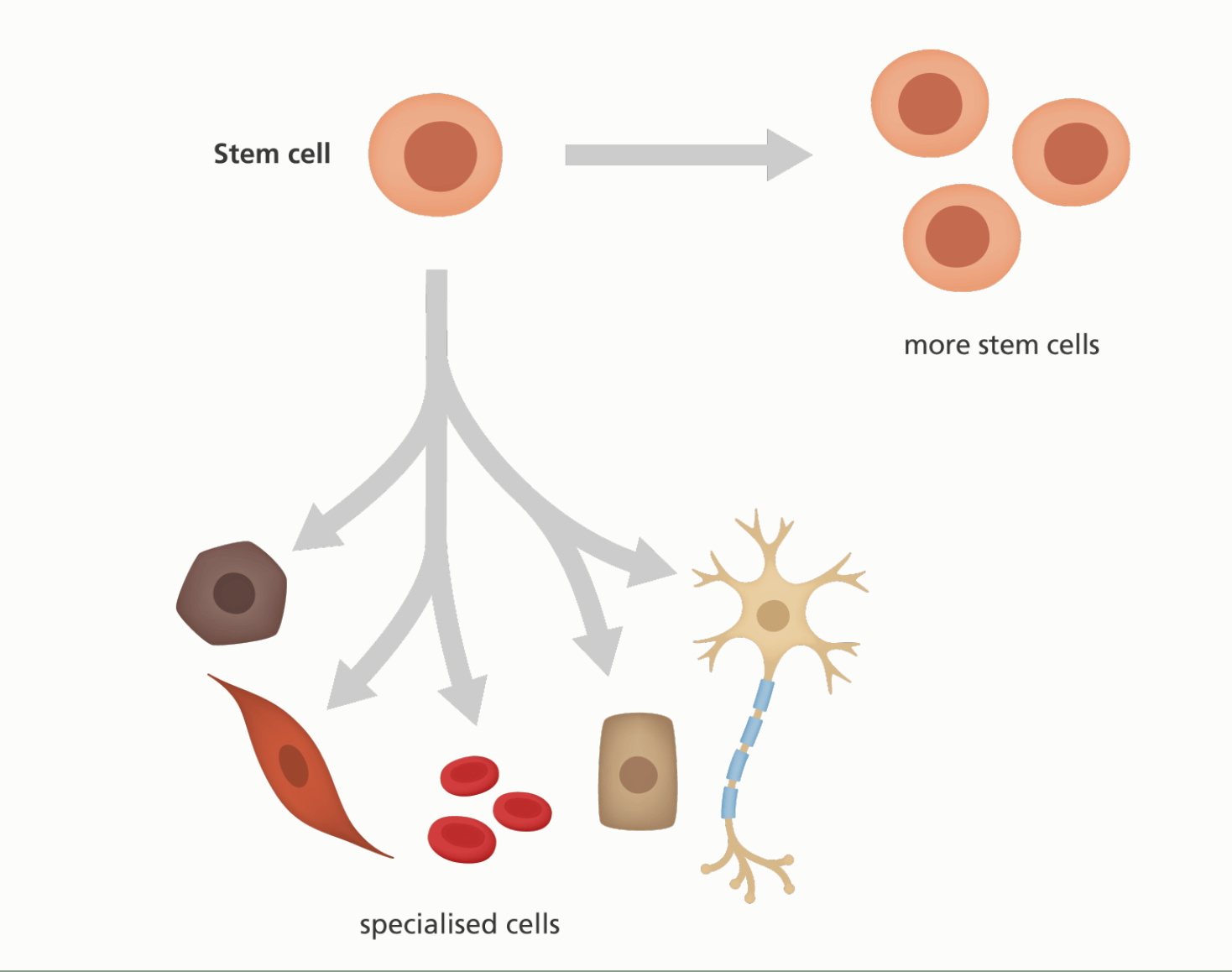 Image: An illustration showing a stem cell giving rise to more stem cells or specialised cells.