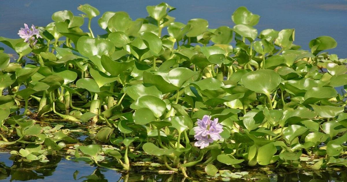 hyacinth ,  Planning Minister MA Mannan ,  Bangladesh