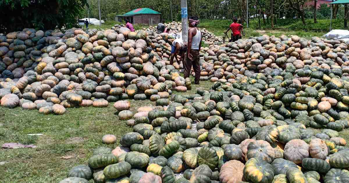 Thakurgaon sweet pumpkin farmers counting losses amid record production
