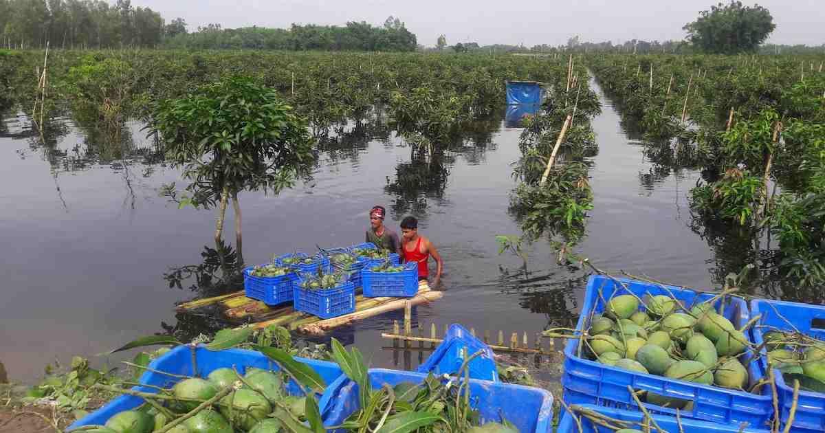 Thakurgaon mango growers feeling the heat as rains play havoc