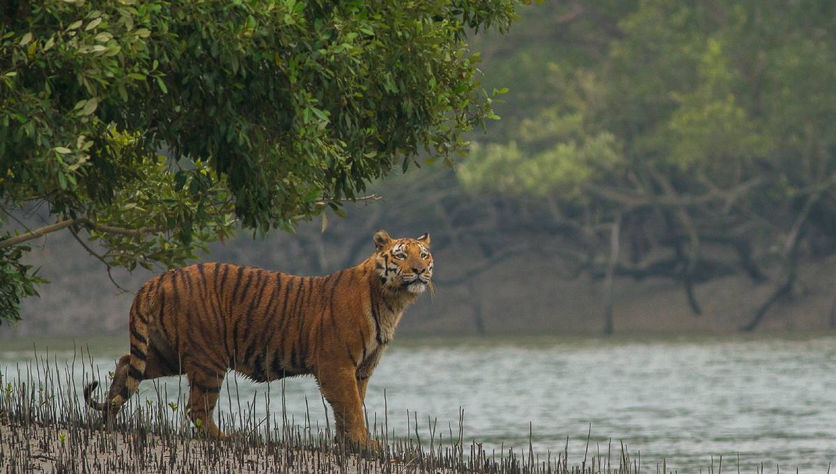 Climate change may destroy Sundarbans' tigers in 50 years: Study