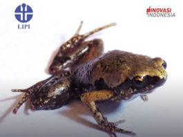 Indonesian scientists discover new species mini frog in Sumatra