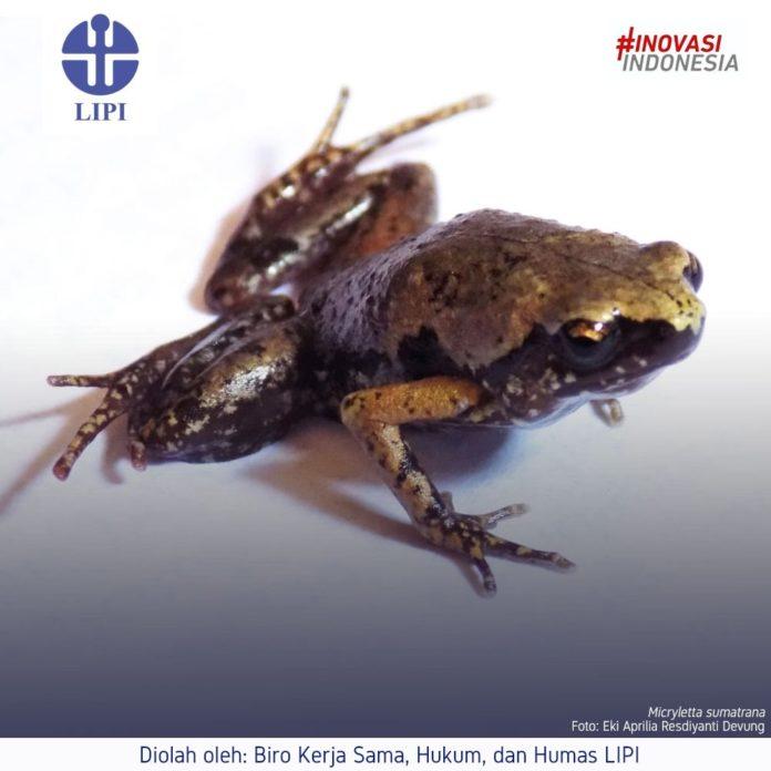 LIPI temukan katak mini di selatan Pulau Sumatera