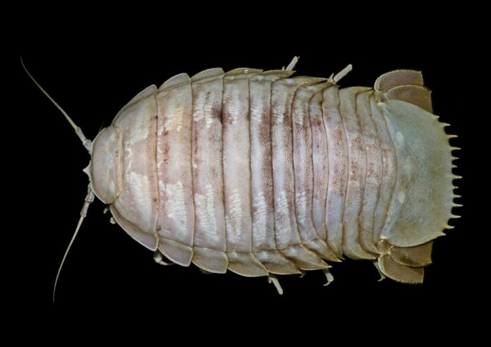 Researchers discover new giant cockroach species in Indonesia's deep sea
