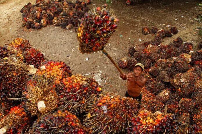 """Pemerintah kembangkan """"green fuel"""" di sentra kelapa sawit"""