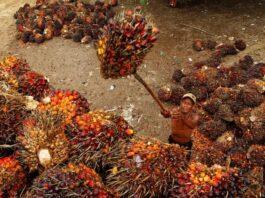 Penelitian: Minyak sawit efisien dalam penggunaan lahan