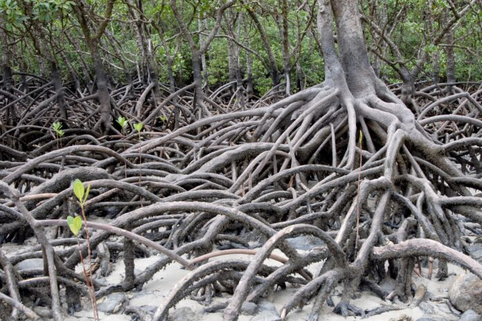 Indonesian science of institute uses MONMANG apps to monitor mangroves