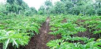 Indonesia has 600 species of taro plants