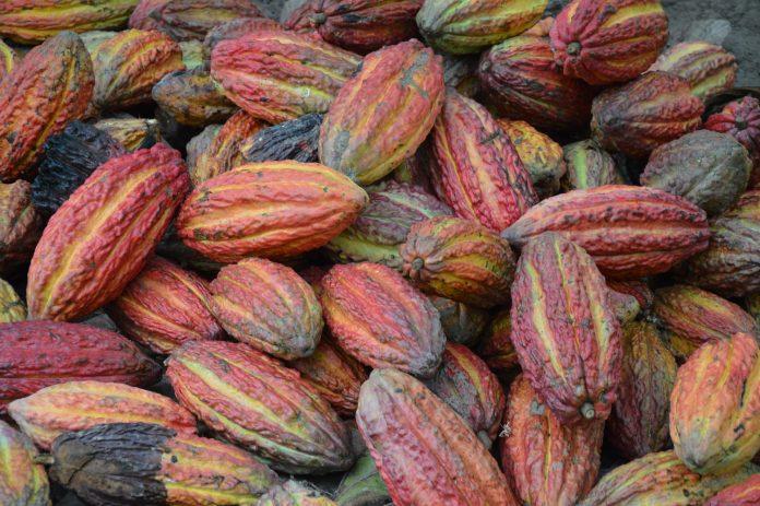 'Cocoa Technical Center' di Pasuruan bantu petani tingkatkan produksi