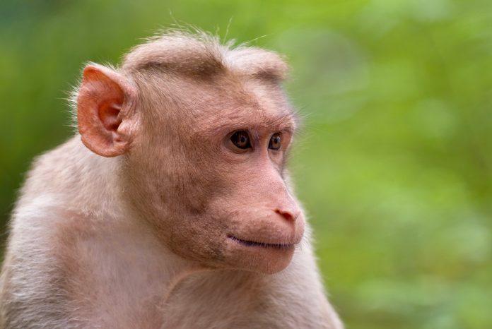 COVID-19 – Vietnam uji vaksin pada monyet