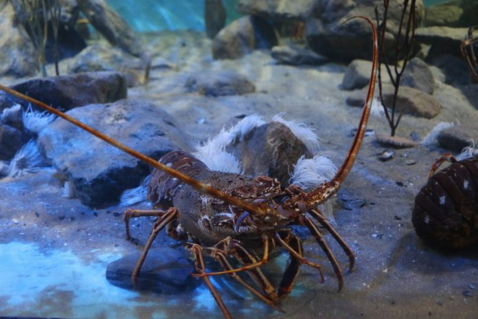 Indonesia has potential of 20 billion lobster seeds per year