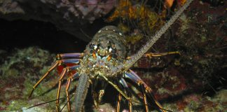 Potensi benih lobster Indonesia 20 milyar ekor per tahun