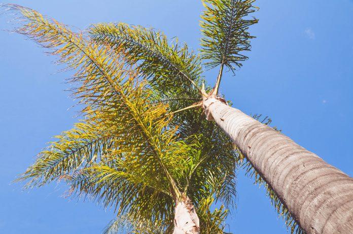 Arab Saudi larang tanam pohon palem cegah penyebaran kumbang sawit merah