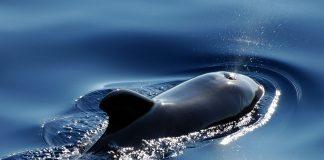 52 paus pilot sirip pendek mati terdampar di pantai Bangkalan, Jawa Timur