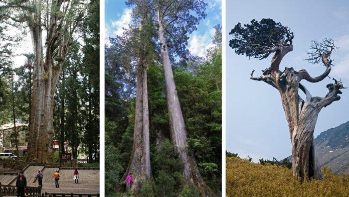 Taiwan rumah pepohonan berusia ribuan tahun