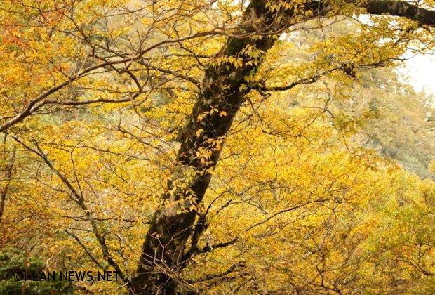 深秋黃葉耀金的台灣山毛櫸最美!