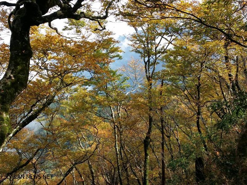 林管處公開台灣山毛櫸步道懶人包在這裡!