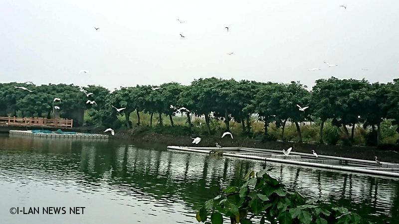 千隻白鷺鷥聚集魚池 掌聲響起展翅飛