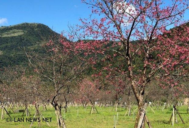 大同櫻花季2月8日在崙埤河濱公園登場