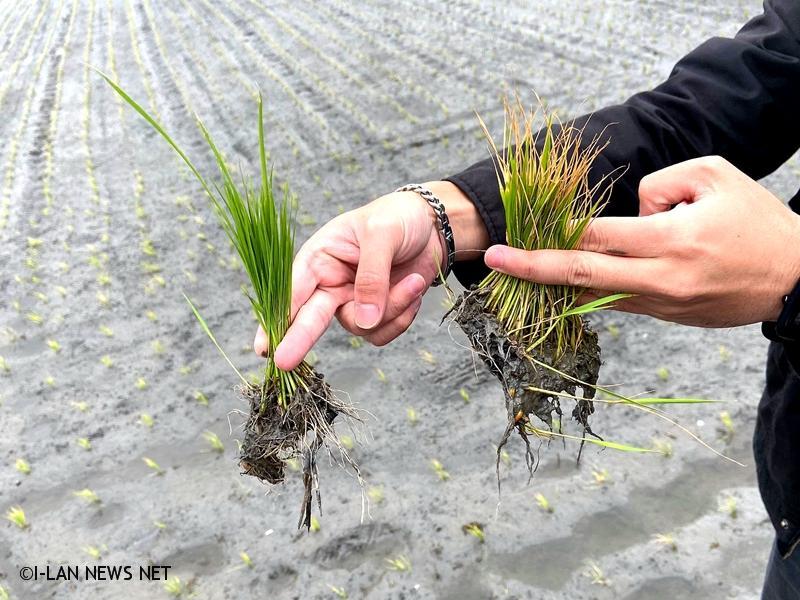 春雨不來農田灌溉缺水稻苗黃化受害!