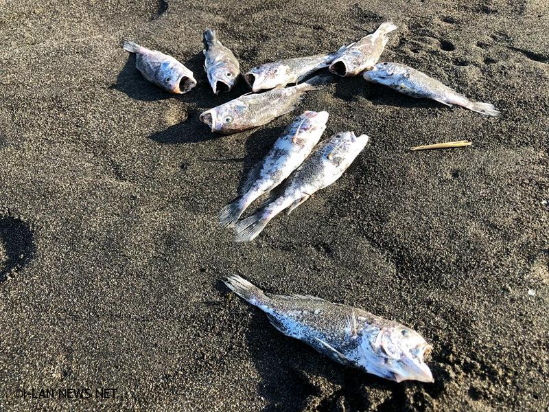五結清水海邊大量白口魚暴斃