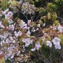 台灣特有種太平山白櫻花初春正值開花期!