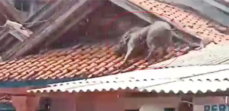 Babi di atap rumah warga di Cikalong