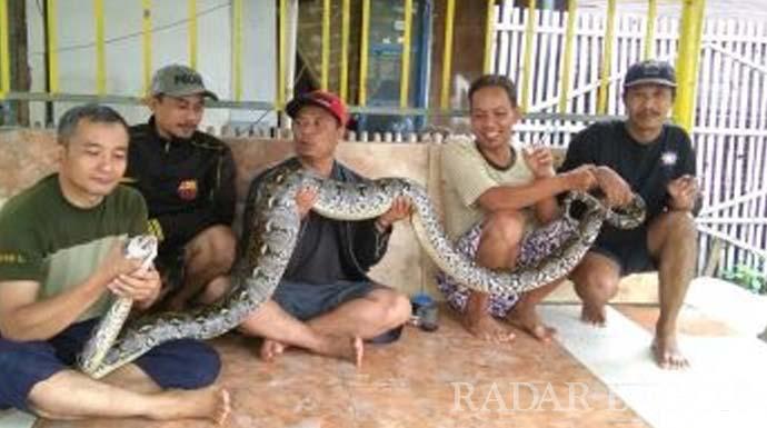 Warga berfoto bersama ular sanca yang ditangkap di bekasi