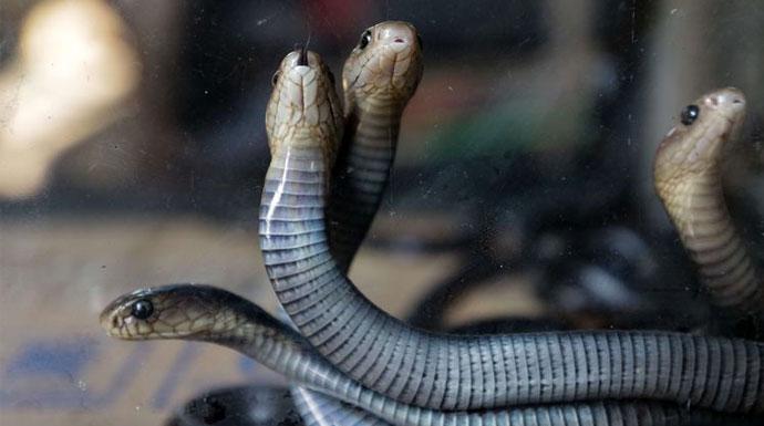 Ular-Kobra