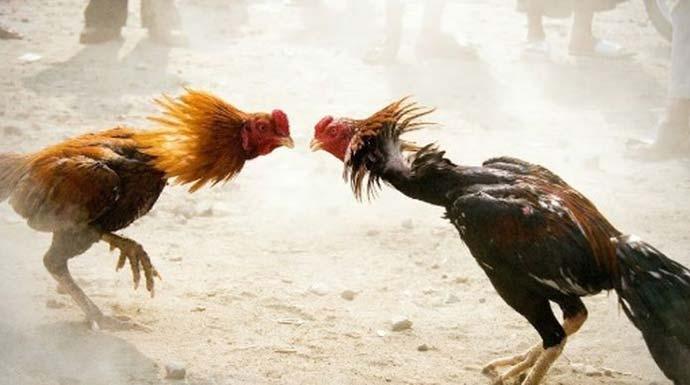 Ada Judi Sabung Ayam di Tajurhalang, 17 Pelaku Diciduk