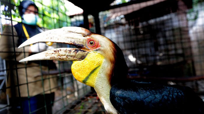 Penelitian Burung Rangkong.