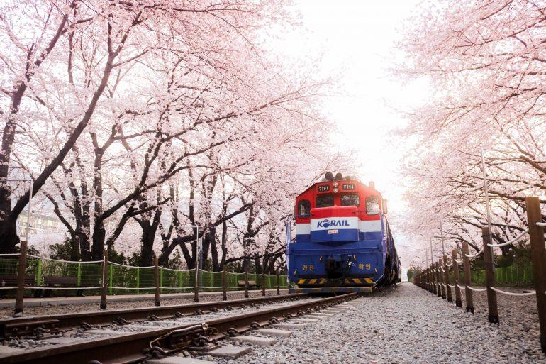 Prediksi Jadwal Sakura Korea 2018: Kapan u0026 Dimana