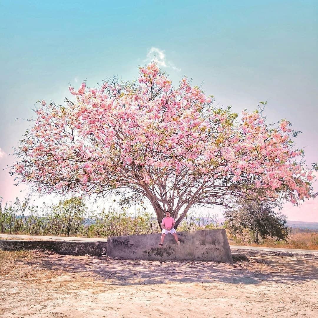 Tempat Melihat Bunga Sakura Di Indonesia Yang Tidak Kalah Keren