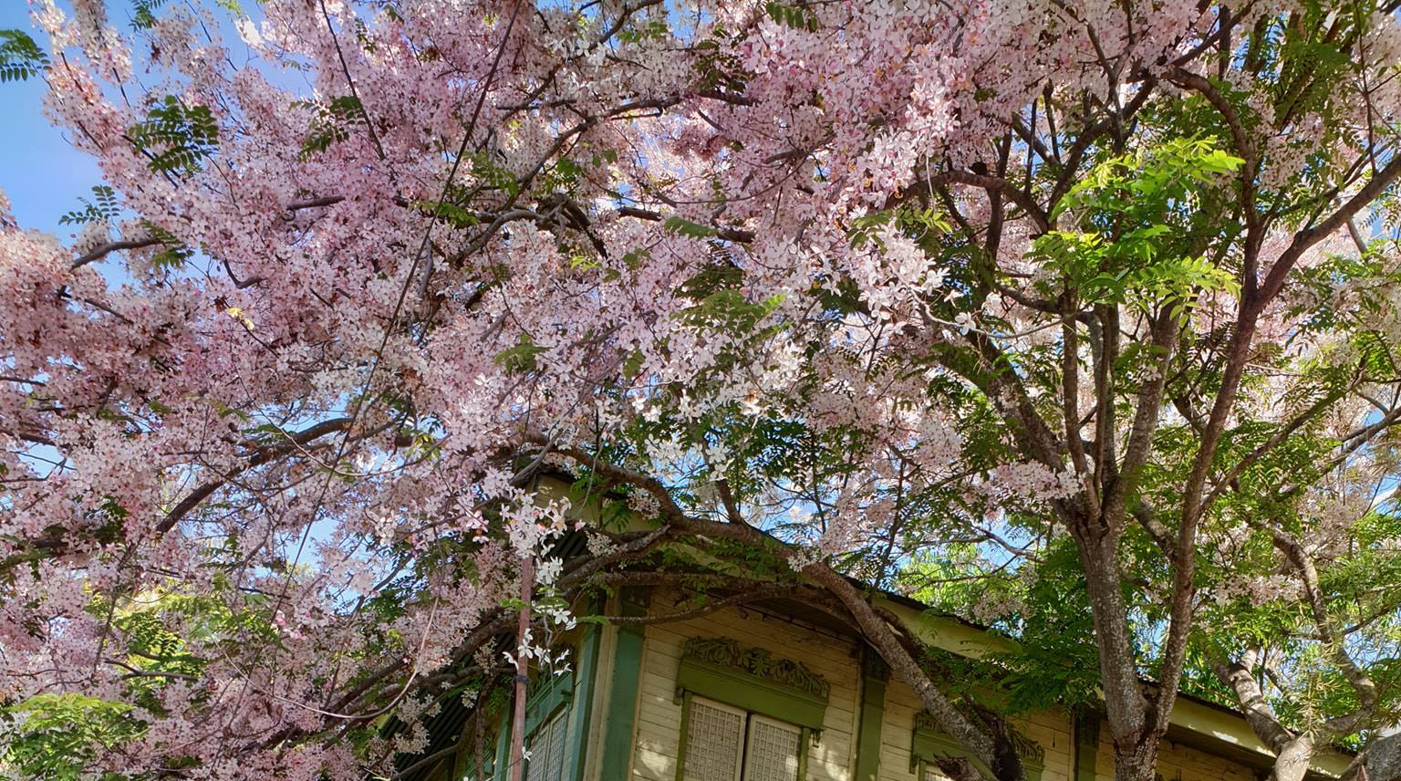 Cherry Blossoms In The Philippines Where To Find Them And More