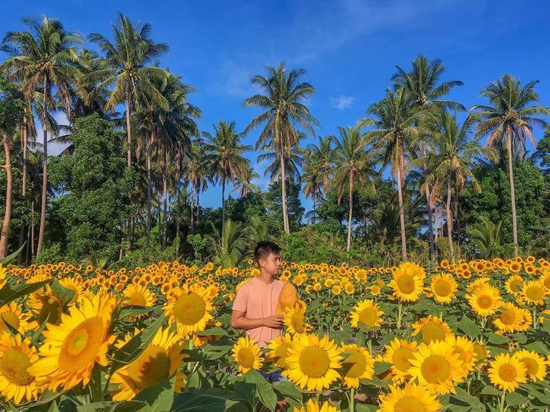 Sunflower Farm Albay