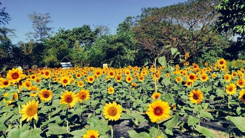 flower farms in the philippines