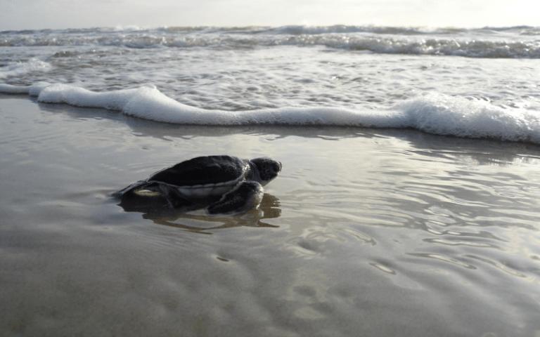pagudpud saud beach pawikan