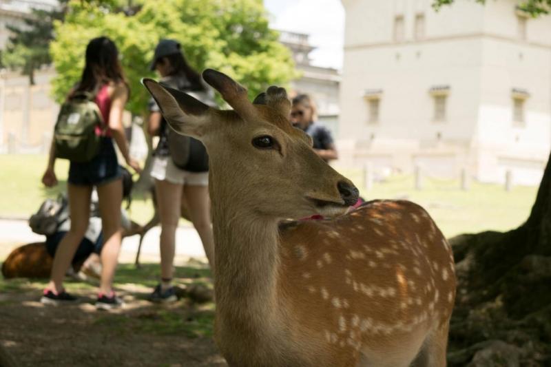 những chú nai tại Công viên Nara