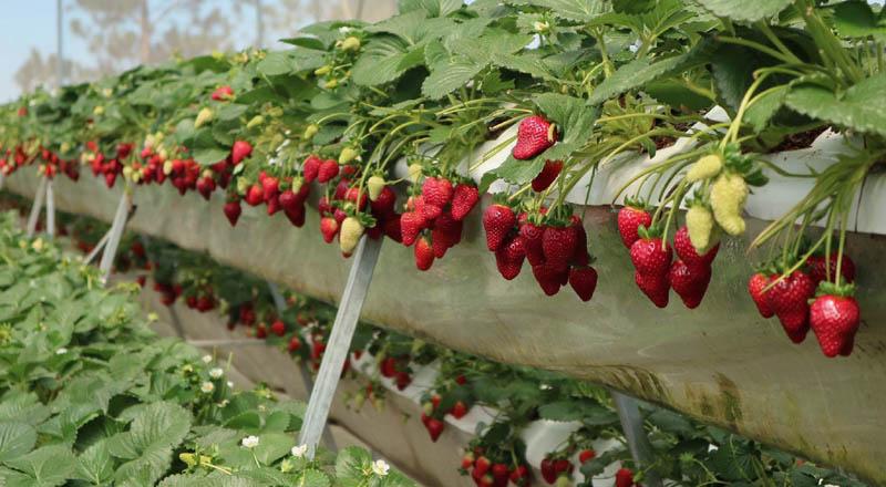 Mua khi du lịch Đà Lạt những trái dâu tươi đỏ mọng