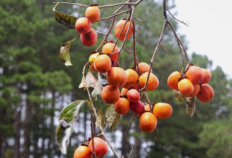 Hồng Đà Lạt giòn dẻo trĩu quả trên cành