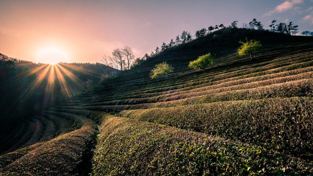 Cánh đồng trà xanh Boseong