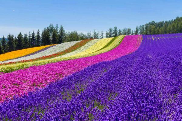 Lạc vào mê cung hoa ở Furano