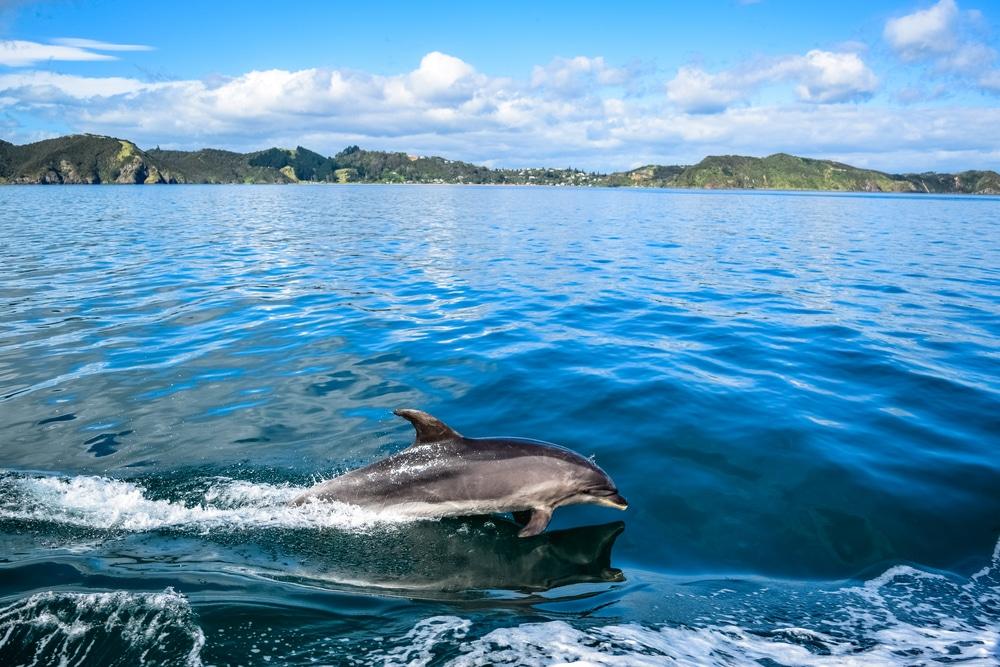 Bơi cùng cá heo trong Vịnh Đảo
