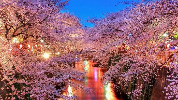 Lễ hội hoa anh đào tuyệt đẹp tại đảo Jeju